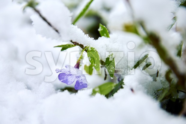Spring flower covered in snow. Close up Stock Photo