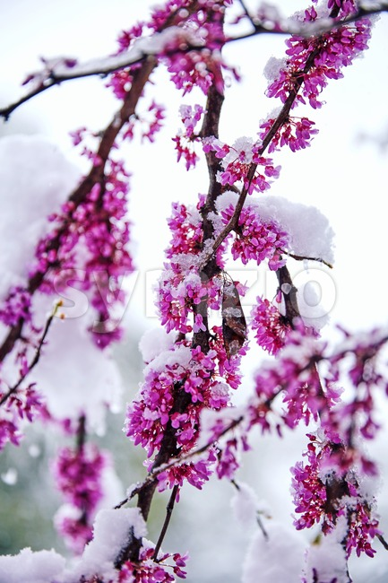 Cherry blossom tree branch covered in snow in close up shot Stock Photo