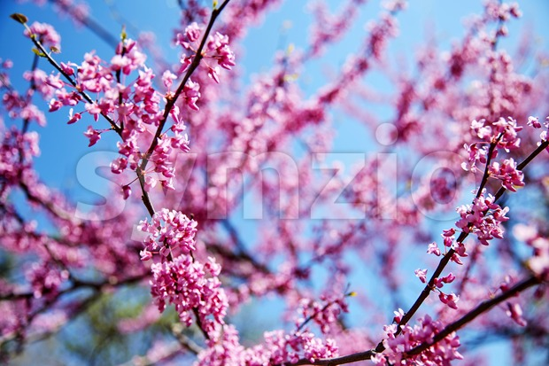 Cherry blossom tree branch in close up shot Stock Photo