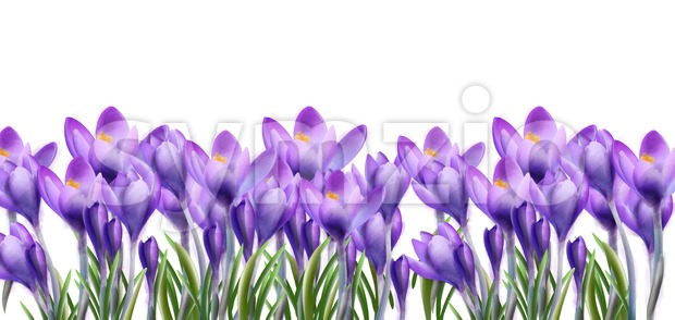 Crocus flowers background Vector watercolor. Botanical floral banner isolated. Spring season template Stock Vector